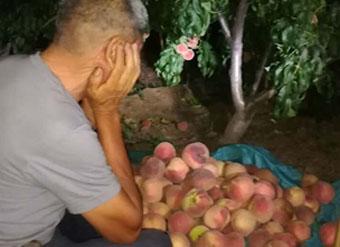 帮帮他们!潍坊一村庄百万斤桃子滞销