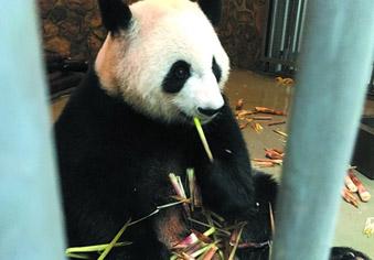 济南又来了两只大熊猫