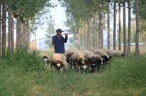 黄河岸边的羊倌