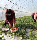 上线进群,草莓今年销路更宽了