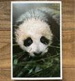 """""""大熊猫的春天""""来了"""